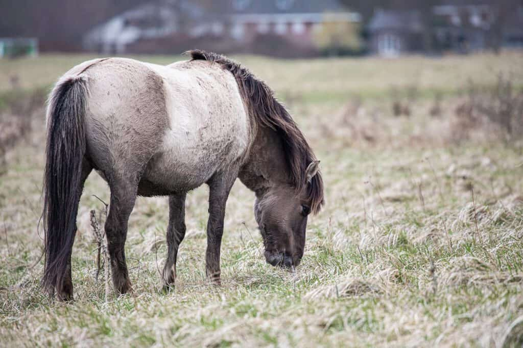 Konikpaarden in lentevreugd