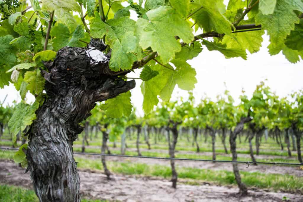 Bodega Marichal Uruguay - Wijnboer